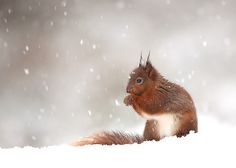 500px 上の Giedrius Stakauskas の写真 Red Squirrel In Winter