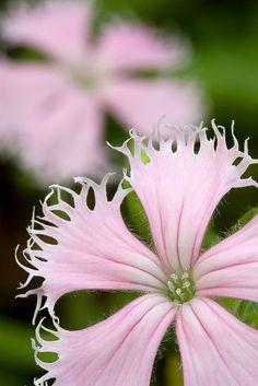 Silene polypetala Flowers Garden Love