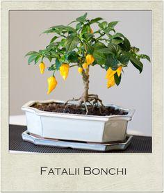 Fatalii Bonchi Bonsai