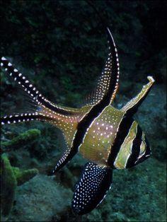 "Banggai Cardinalfish ~ Mik's Pics ""Sea Life l"" board Life Under The Sea, Under The Ocean, Sea And Ocean, Beautiful Sea Creatures, Deep Sea Creatures, Fauna Marina, Beneath The Sea, Salt Water Fish, Water Animals"