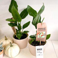 Egy bájos cserepes növény ajándékba vagy otthonra. Ha Te vagy akit meglepnél inkább a cserepes növényeket szereti. Jelenleg készleten lévő közepes cserepes növény: papagájvirág és hunyor kaspóban. Kérlek a megjegyzés rovatba írd be melyiket szeretnéd. A kaspó átmérője: 12 cm Az itt látható cserepes növény készleten van, az aktuális árukészletünk része. Planter Pots, Bird, Birds