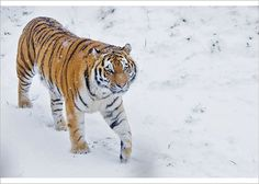 An poster sized print, approx (other products available) - RF - Siberian tiger (Panthera tigris altaica) in snow, captive. - Image supplied by Nature Picture Library - Poster printed in the USA Pet Tiger, Tiger Cubs, Bengal Tiger, Thing 1, Siberian Tiger, Vertebrates, Domestic Cat, Snow Leopard, Amigurumi