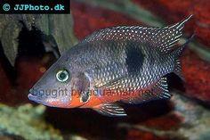 Thorichthys meeki - Firemouth Cichlid