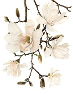 Anna Knights - botanical painting
