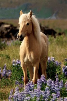Beautiful Palomino colored horse standing in purple flowers.