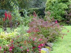 The fuchsia bed with a newly planted medlar flanked by lobelia cardinalis.behind.