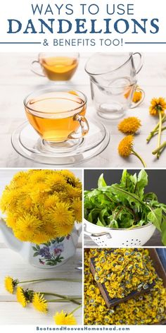 Dandelions are quite nutritious and have a wide variety of health benefits. They are a great source of vitamins A,B, C, and K. Plus, they are high in calcium, fiber, magnesium, antioxidants, and so many more. What are some ways and benefits of using dandelions? Great herbal uses and healthy recipes in this post! Dandelion Uses, Dandelion Benefits, Dandelion Recipes, Herbal Remedies, Natural Remedies, Sources Of Vitamin A, Dandelions, Good Healthy Recipes, Healthy Living Tips