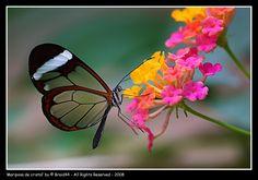 Mariposas - Greta Oto - con alas de cristal más que un espejo.... son el reflejo de una naturaleza viva