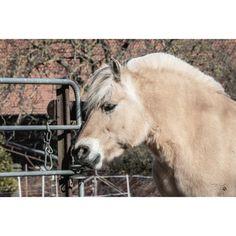 Fjordpferd · Fjord Horse · Norwegisches Fjordpferd · Norwegian Fjord Horse · Falbe · Pferdefotografie · Pferdefotograf · Horse Photography · Horse Photoshoot · Equine Photography · Equestrian Photography · Equine Photoshoot · Pferdefotos · Pferdeportrait · Pferdeshooting · Horse Pictures · Horse Portrait · Horse Shooting Horses, Animals, Dun Horse, Animales, Animaux, Horse, Words, Animal, Animais