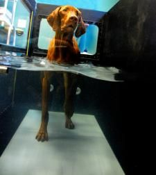 Aquatic Pet Therapy in CSAH's Underwater Treadmill is an effective mode of both treatment and exercise.