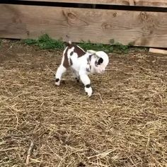 Baby goat still figuring out the whole walking thing - Animals wild, Animals cutest, Animals funny, Animals drawings Baby Animal Videos, Funny Animal Videos, Cute Funny Animals, Cute Baby Animals, Animals And Pets, Baby Videos, Dog Videos, Animals Images, Nature Animals