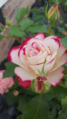 A beautiful rose for a awesome beautiful friend! Beautiful Rose Flowers, Beautiful Flowers Wallpapers, Pretty Roses, Exotic Flowers, Amazing Flowers, Pretty Flowers, Beautiful Gardens, Image Nature Fleurs, Flowers Nature