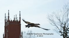 Flying Canada Goose by Judy M Tomlinson Photography