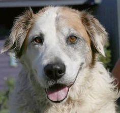 Bob: Australian Shepherd, Dog; Long Beach, CA