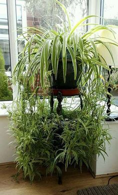 Top 10 Low-Maintenance & Low Light Houseplants for an Office Spider plants Hanging Plants, Indoor Plants, Indoor Gardening Supplies, Gardening Hacks, Organic Gardening, Plantas Indoor, Low Maintenance Garden, Spider Plants, Office Plants