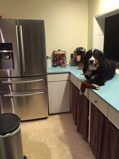 Jack, the counter bernese, from USA. All Dogs, Dogs And Puppies, Burmese Mountain Dogs, Animals And Pets, Cute Animals, Entlebucher, Cute Dogs Breeds, Bernese Mountain, Working Dogs