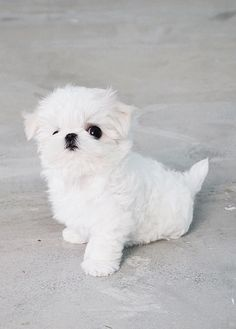 Adorable Maltese Puppy by TeaCups Puppies Boutique. Wish tea cups were not Maltese princess Teacup Maltese, Maltese Dogs, Teacup Puppies, Cute Puppies Micro Maltese, Teacup Maltese For Sale, Micro Teacup Puppies, Maltese Puppies For Sale, Teacup Maltese Puppies, Teacup Yorkie, Super Cute Puppies, Cute Little Puppies, Cute Dogs