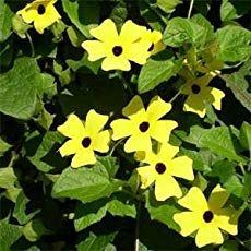 Black Eyed Susan vine grows from Thunbergia seeds. The flower seed will quickly need string or netting as the seedlings will soon be climbing. Flowers Perennials, Flower Pots, Plants, Beautiful Blooms, Seeds, Black Eyed Susan Vine, Flowers, Flowering Vines, Flower Seeds