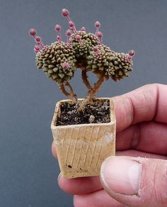Real, Rare Plants. Miniature .      Monanthes muralis Perfect for our future fairy garden!!