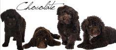 Chocolate Goldendoodles English Teddy Bear Goldendoodles from Smeraglia. #EnglishTeddyBearDoodle  #DoodleDynasty #Smeraglia