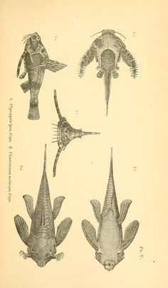 On the fishes of the Ambyiacu River / - Biodiversity Heritage Library