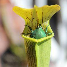 Есть насекомые которые могут лакомиться сладким нектаром растений без вредя для своего здоровья. A figeater beetle happily resting  in the yellow pitcher of a Sarracenia alata while obediently feeding off the plant's nectar.  #carnivorousplants #sarracenia #beetle ( # @alyjandraa ) #ulsk #ульяновск #ulyanovsk #насекомоядные #exoticflora #саррацения #sarracenia #heliamphora #darlingtonia #carnivorousplants