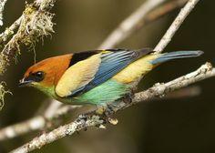 Foto saíra-sapucaia (Tangara peruviana) por Mario Eduardo Shiraichi   Wiki Aves - A Enciclopédia das Aves do Brasil