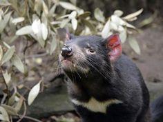 Des chercheurs ont trouvé un vaccin qui pourrait permettre aux diables de Tasmanie de lutter contre la maladie de la tumeur faciale transmissible.