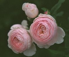 Heritage - an English rose by David Austin