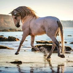 Pretty cream colored horse dancing across the beach.