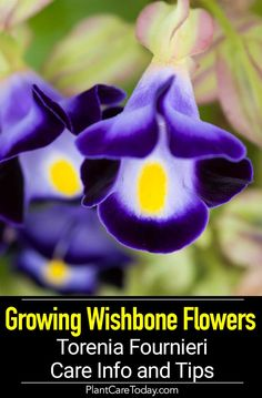 Wishbone Flower, attractive annual, mounding, trailing growth habit, shady groundcover, in a container or hanging basket. [CARE DETAILS] Container Plants, Container Gardening, Gardening Tips, Vegetable Gardening, Growing Flowers, Planting Flowers, Flowers Garden, Purple Garden, Flower Gardening
