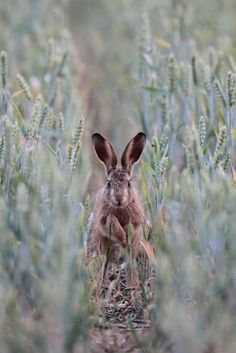 http://www.kevinsawford.com/brown-hares-part-three/  By Kevin Sawford