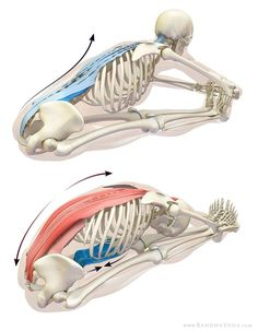 Stretching the erector spinae in paschimottanasana.