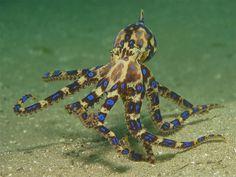 theoceaniswonderful:      Blueringed Octopus