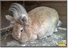 Read Henry's story the Lionhead Rabbit from Morecambe, England and see his photos at Pet of the Day http://PetoftheDay.com/archive/2014/October/05.html .