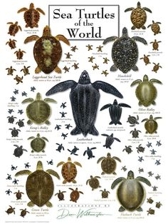 Sea Turtles of the World - Poster - Tiere World Puzzle, Leatherback Turtle, Turtle Life, Baby Sea Turtles, Water Poster, Green Turtle, Ocean Creatures, Fantasy Creatures, Tortoises