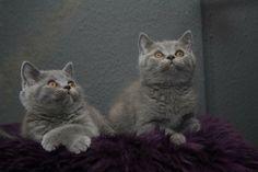 British Shorthair Kittens | Cattery Fieneliens | The Netherlands | www.kittentekoop.nl