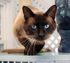 Siamese Cat Rescue Center's photo.