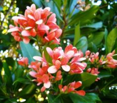 Alberta Magna with fruit wings masquerading as flowers         Natal Flame Bush        Breekhout           13 m        701