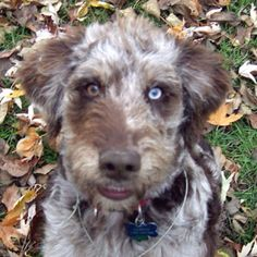 Aussiedoodle! Those eyes are so awesome.