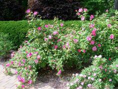 'Carefree Beauty' Rose Photo