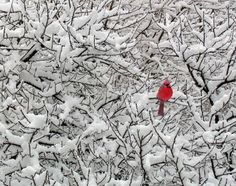 Snow is a perfect backdrop for the cardinal