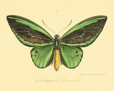 victorian drawing butterfly - Google Search