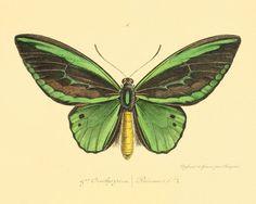 Mariposa arte Historia Natural viejo impresiones Arte