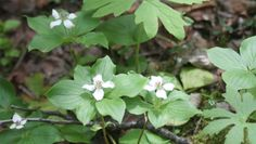canadian forest plants - Google Search