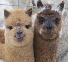 A to Z Alpacas is one of Canada's largest commercial alpaca farms. Baby Alpaca, Cute Alpaca, Alpacas, Crazy Cat Lady, Crazy Cats, Cute Baby Animals, Animals And Pets, Farm Animals, Alpaca Drawing
