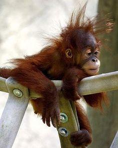Baby Orangutans Enjoy the Early Years with Mom | Baby Animal Zoo