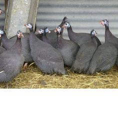 Guinea Fowl----We have a flock of these wonderful birds.  Noisy, but great bug-eaters -- especially good for grasshoppers & ticks.  They don't scratch like chickens who can destroy flowerbeds.