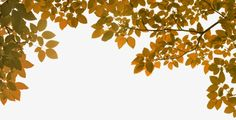Autumn leaves, Yellow Leaves, Leaves, Leaf PNG Image