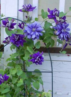 Clematis / Flower Patch Farmhouse